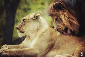 Львы любовь