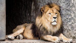 Лев какой он