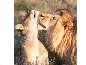 Если лев влюбился