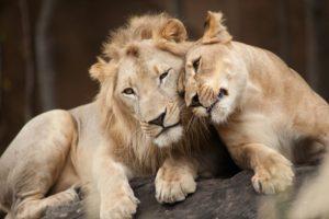 Влюбленный лев
