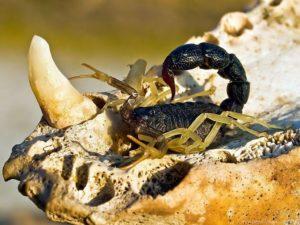 Возвращаются ли скорпионы