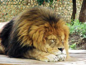 Если лев обиделся