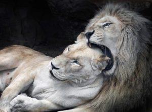 Как влюбляются мужчины львы