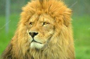 Мужчина лев пропадает